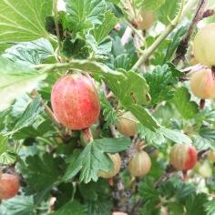Gorgeous red gooseberries